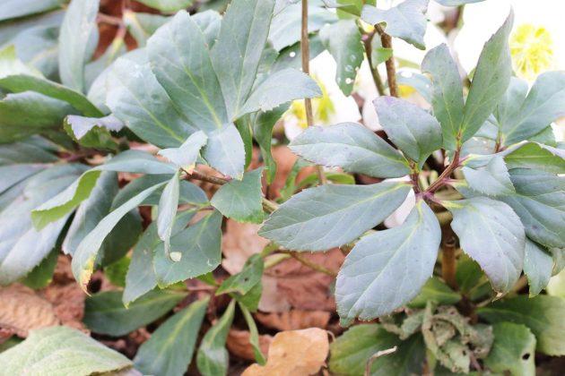 Helleborus niger, Christrose, Schneerose, Nieswurz mit dunkelgrünen Blättern