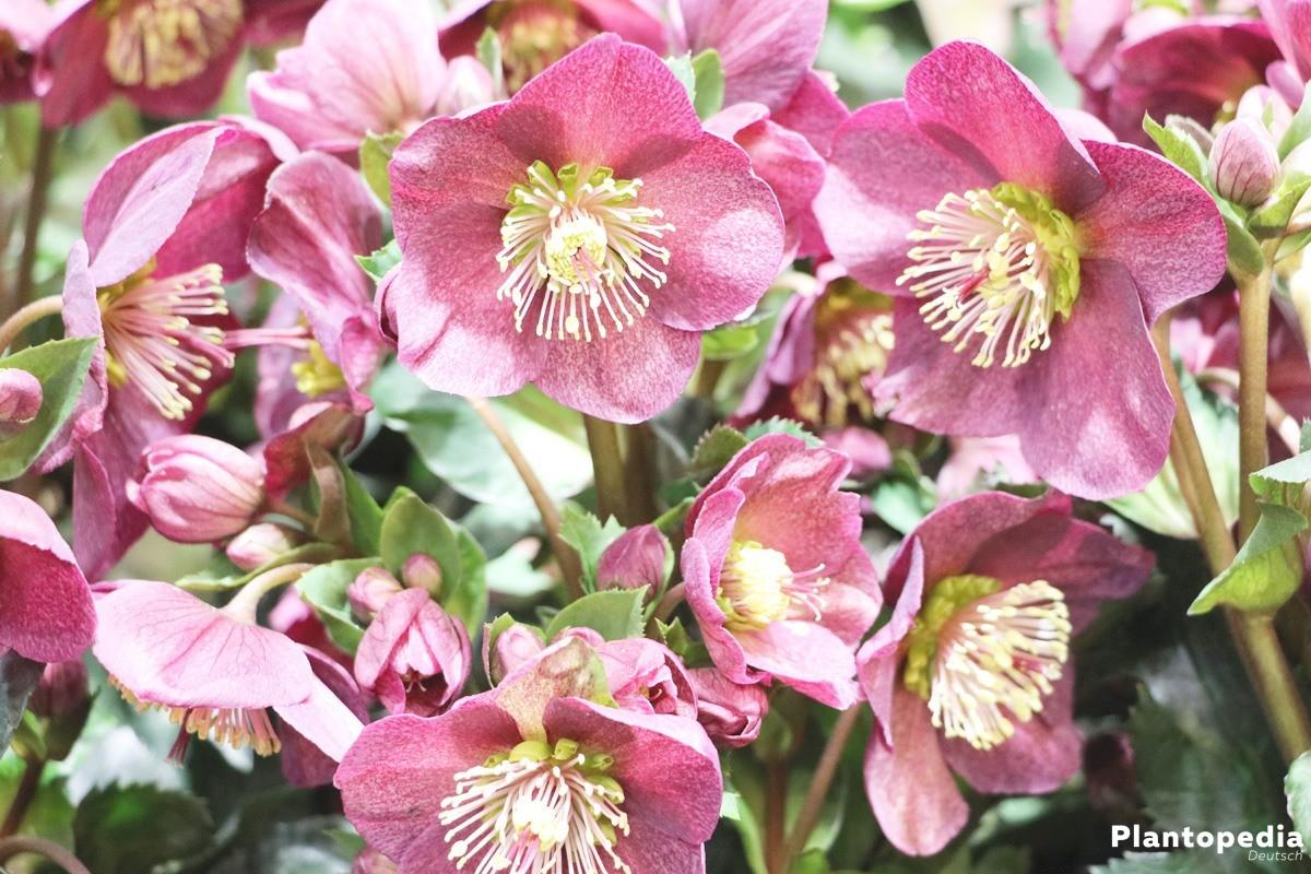 Schneerose, Nieswurz mit rosa Blüten