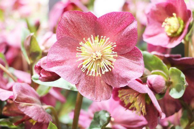 Schneerose, Nieswurz mit pinkfarbener Blüte