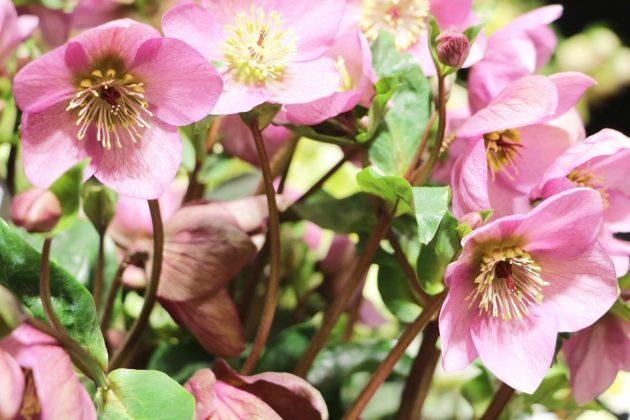 Christrose, Schneerose mit rosa Blütenfarbe