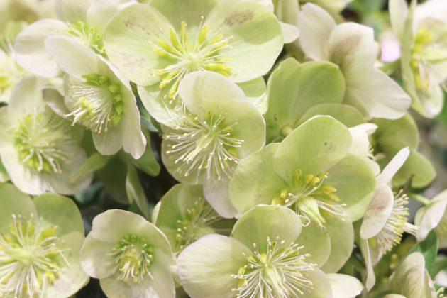 Christrose mit weißen Blüten