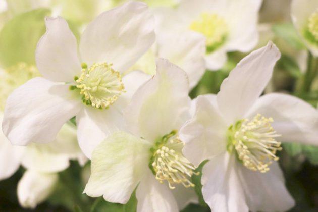 Schneerose, Nieswurz verziert jeden Garten
