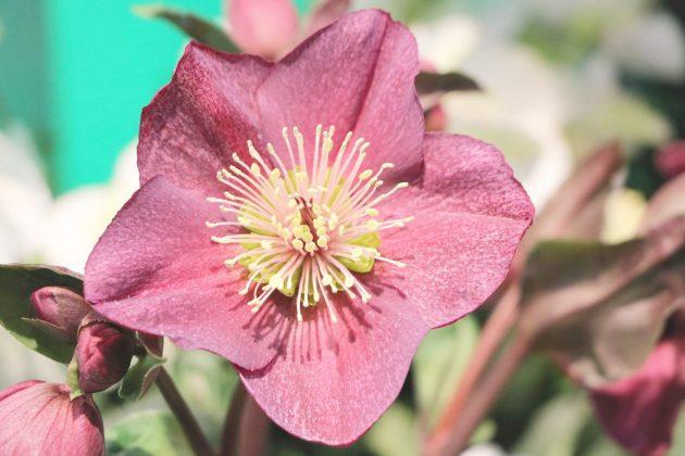 Helleborus niger, Christrose mit rosafarbener Blüte