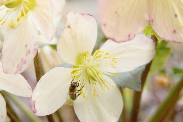 Helleborus niger, Christrose, Schneerose, Nieswurz