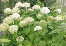 Hydrangea arborescens 'Annabelle', Schneeballhortensie, Ballhortensie Annabelle