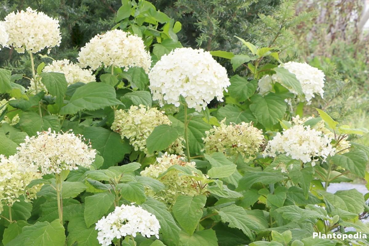 Hydrangea arborescens 'Annabelle' wird auch Waldhortensie genannt