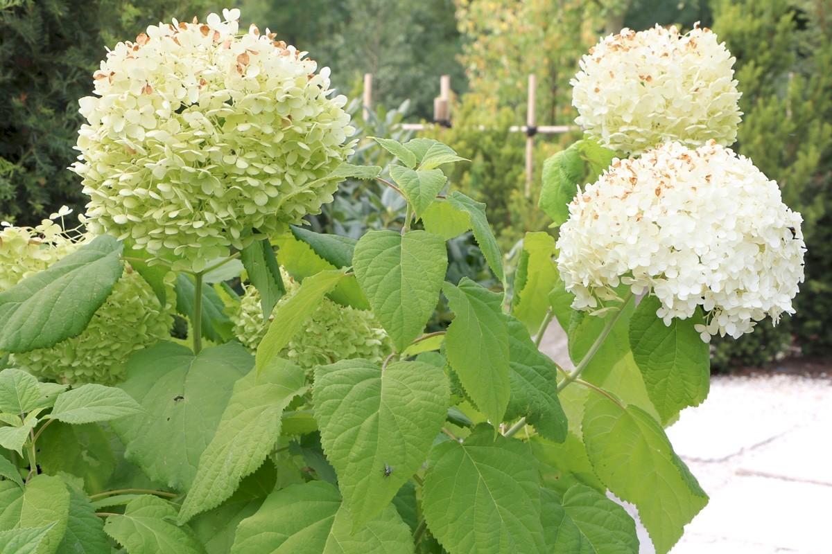 Ballhortensie Annabelle als Gartenpflanze