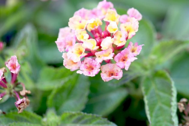 Lantana 'Calippo' Orange, Wandelröschen