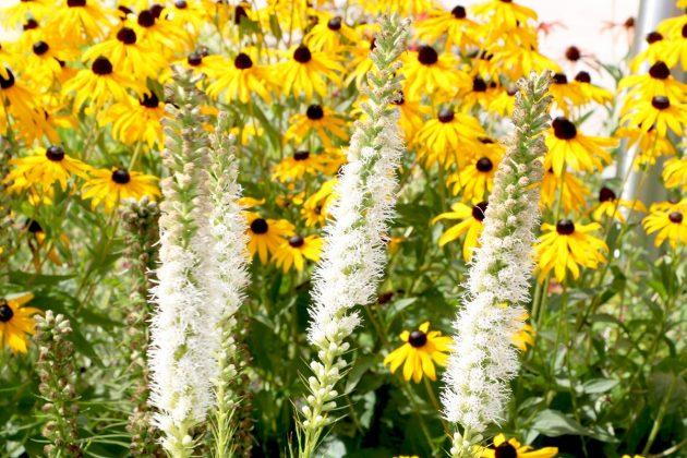 Liatris spicata 'Floristan Weiß', Prachtscharte
