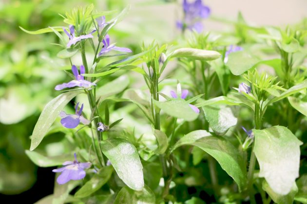 Lobelia erinus 'Techno Up' Blue, Männertreu