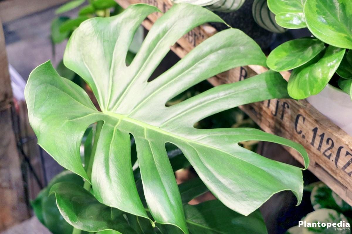 Monstera deliciosa ist eine prachtvolle Zimmerpflanze