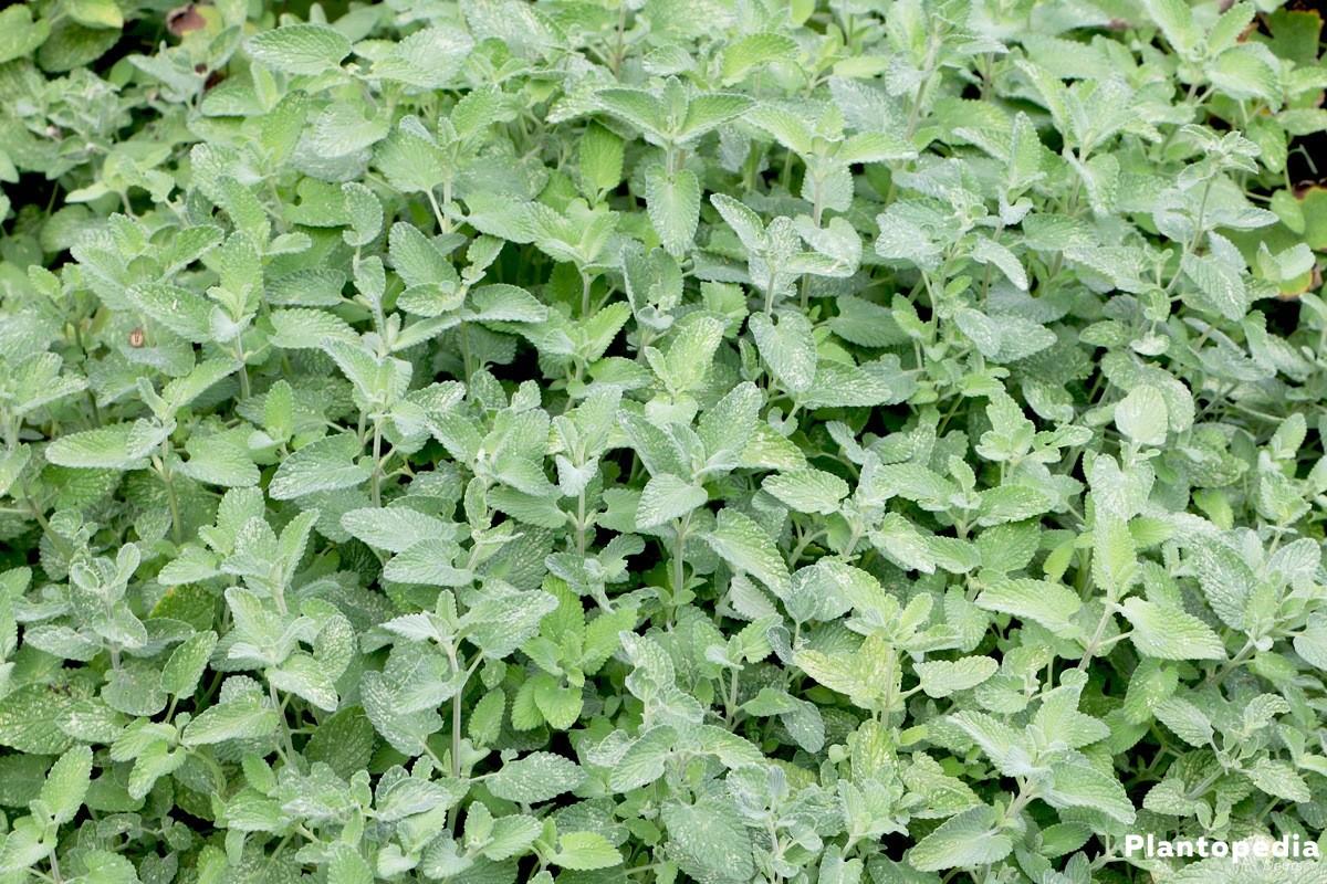 Nepeta racemosa 'Superba', Trauben-Katzenminze