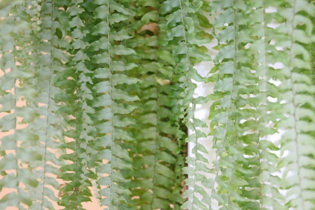Nephrolepis cordifolia 'Duffi', Schwertfarn