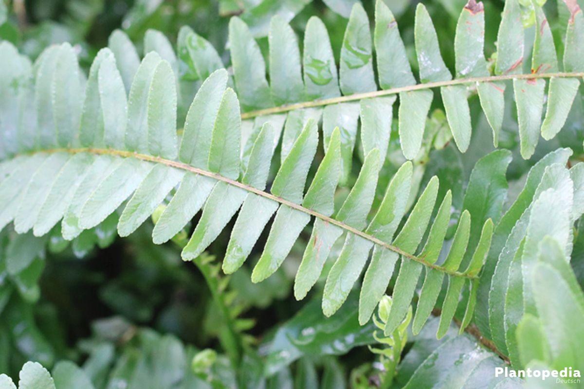 Nephrolepis exaltata, Schwertfarn als Zimmerpflanze oder Ampelpflanze
