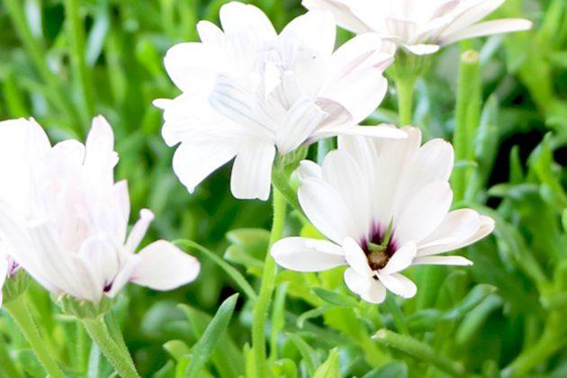 Osteospermum mit weißer Blütenfarbe