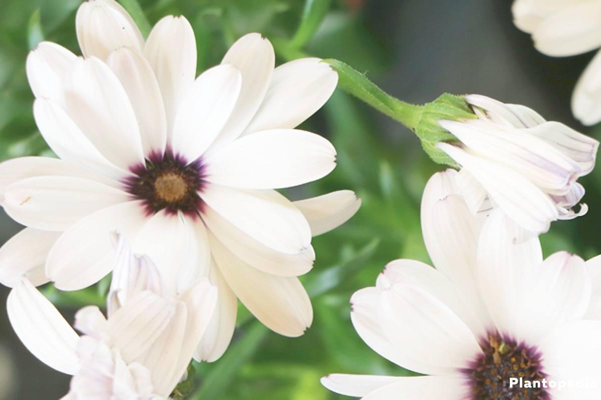 Osteospermum, Kapkörbchen mit weißen Blüten