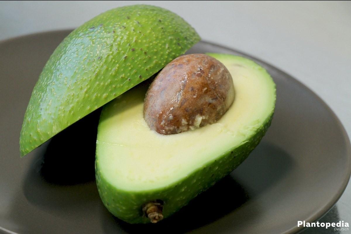 avocadobaum avocado pflanze z chten avocadokern einpflanzen plantopedia. Black Bedroom Furniture Sets. Home Design Ideas