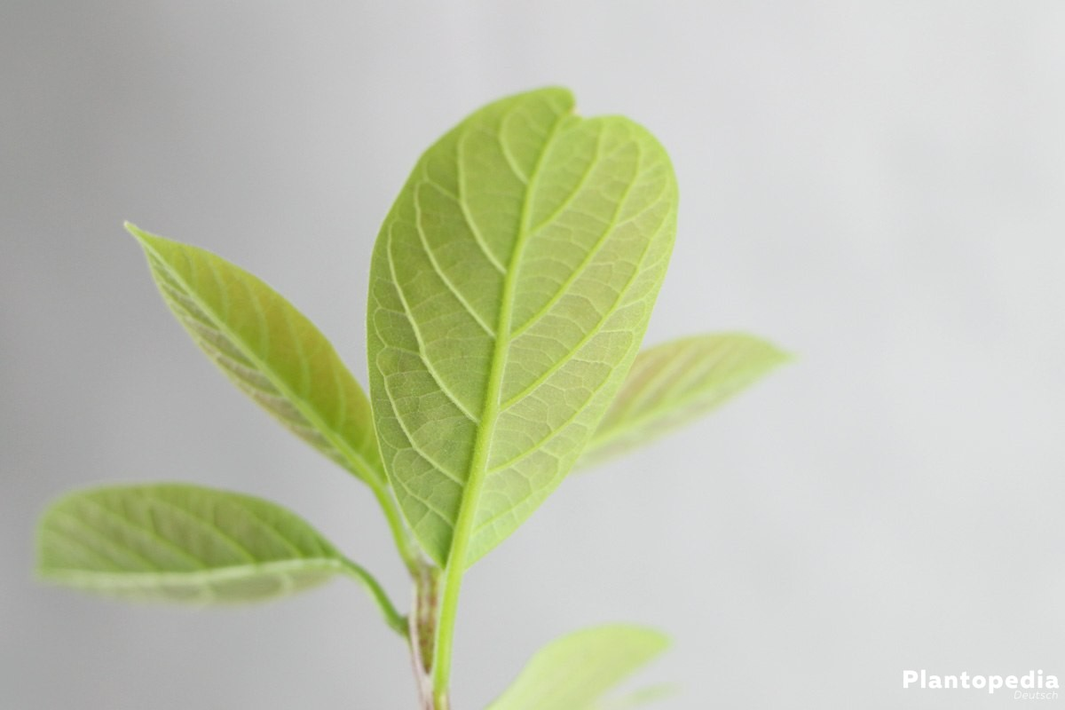 Avocado, Avocado-Pflanze selbst züchten
