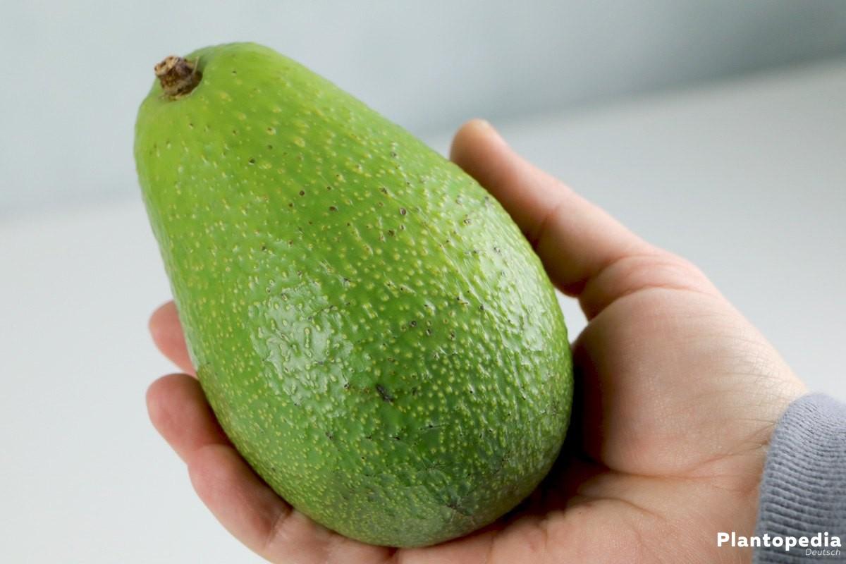 Avocado wird auch Butterfrucht genannt