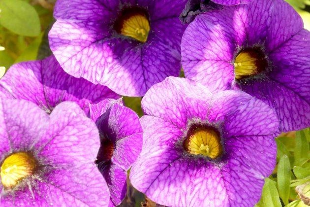 Petunien mit lila Blüten