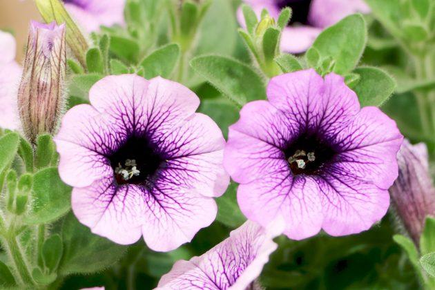 Petunia blüht sehr üppig