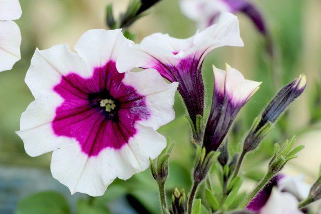 Petunie mit zweifarbiger Blüte in Weiß mit Lila