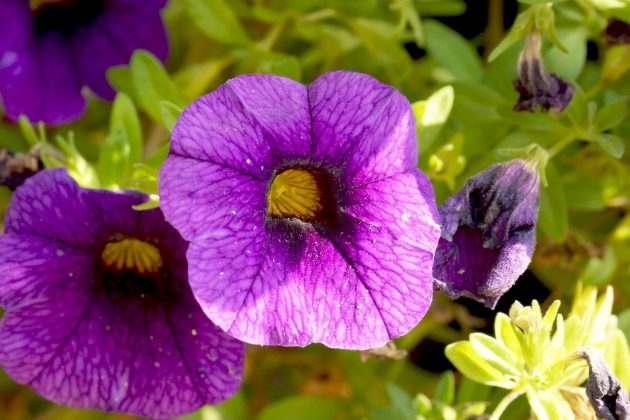 Petunia mit lilafarbener Blüte