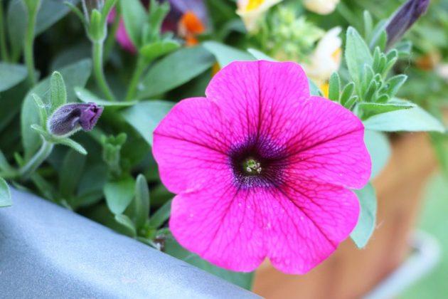 Hängepetunie mit leuchtend pinkfarbener Blüte