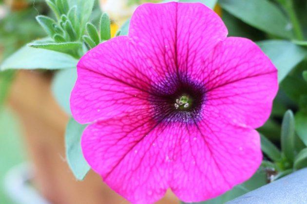 Petunien sieht man häufig in Gärten und auf Balkonen