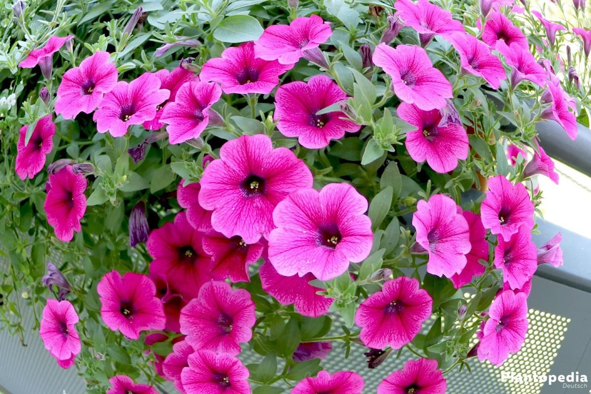 Petunia mit leuchtender Blütenfarbe