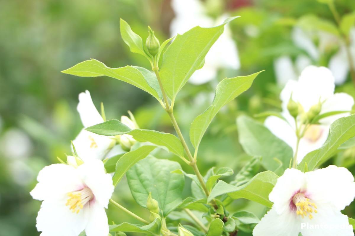 Pfeifenstrauch auch als Heckenpflanze geeignet