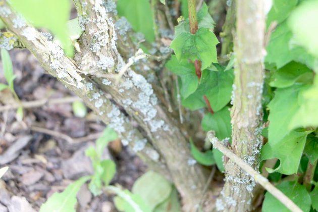Duftjasmin ist eine winterharte Pflanze