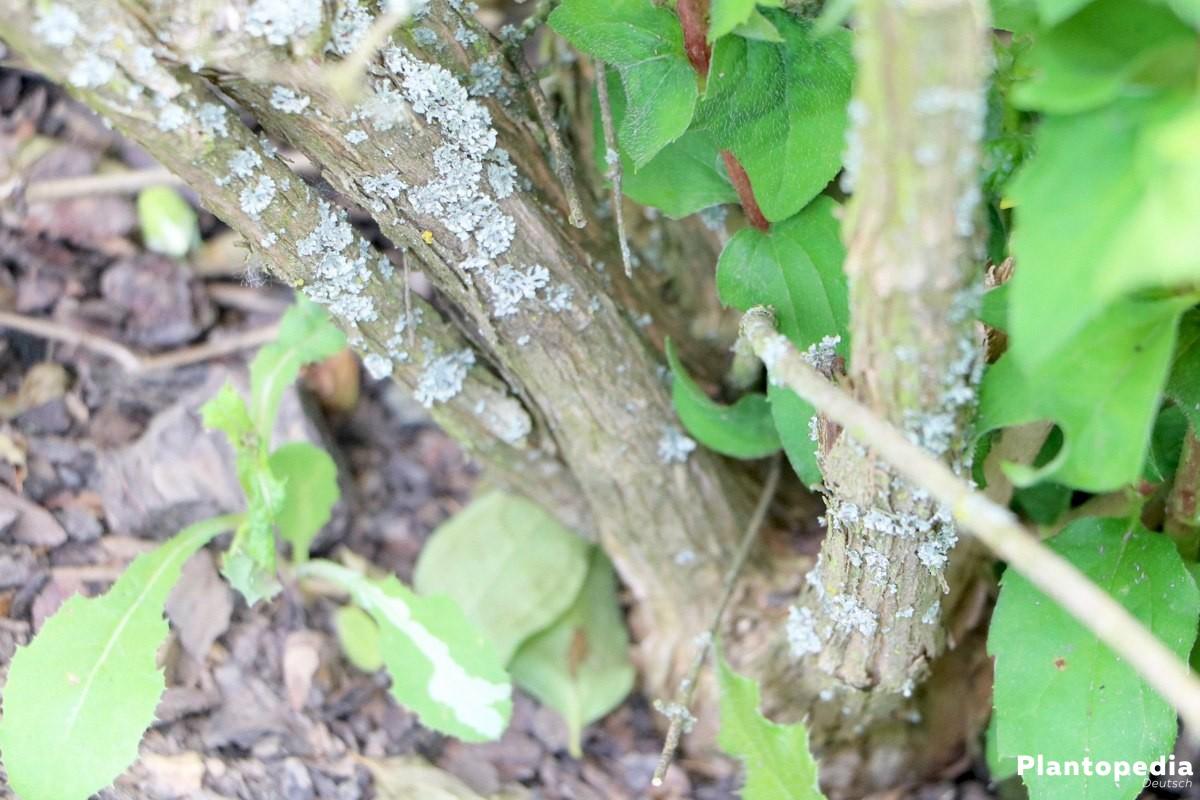 Pfeifenstrauch gehört zu den Hortensiengewächsen