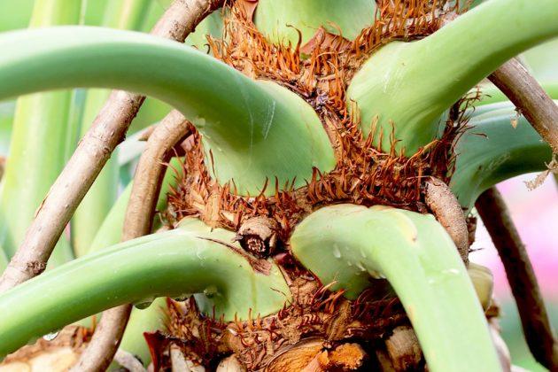 Philodendron, Baumfreund braucht kalkarmes Wasser