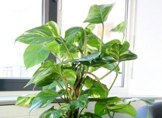 Philodendron, Baumfreund