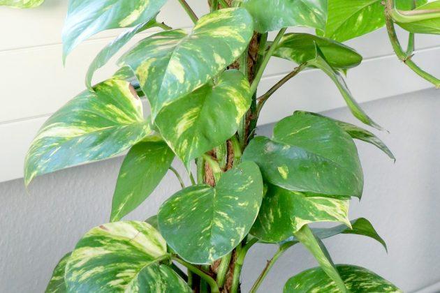 Philodendron kann auch in Hydrokultur gehalten werden