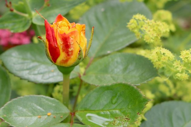 Rosenblüte halbgeöffnet