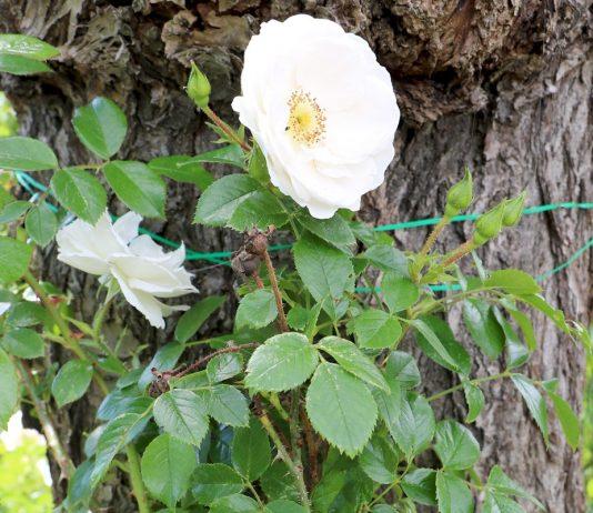 Rosen schneiden im Frühjahr/Herbst