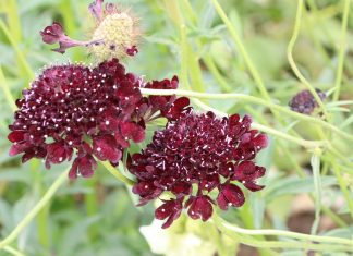 Scabiosa atropurpurea, Black Night Skabiose