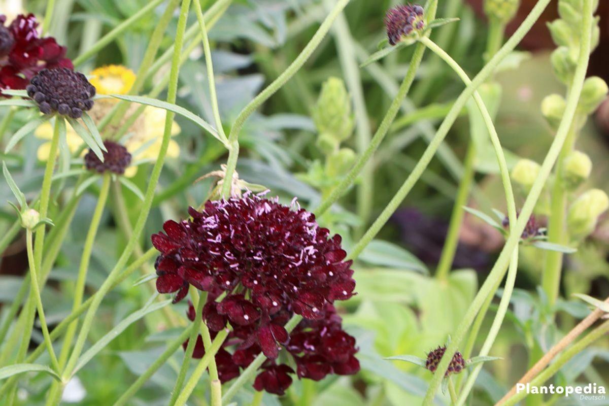 Scabiosa atropurpurea, Black Night Skabiose