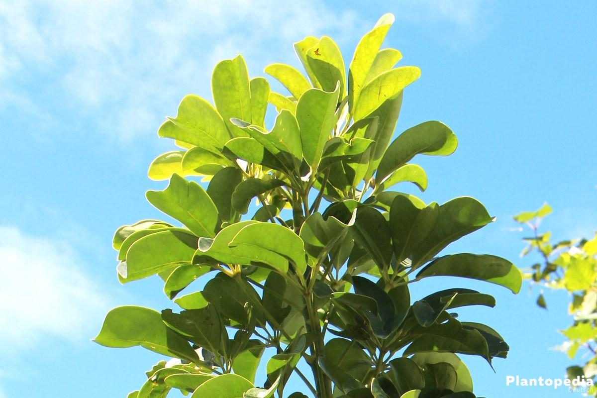Schefflera arboricola, Strahlenaralie, Schefflerie