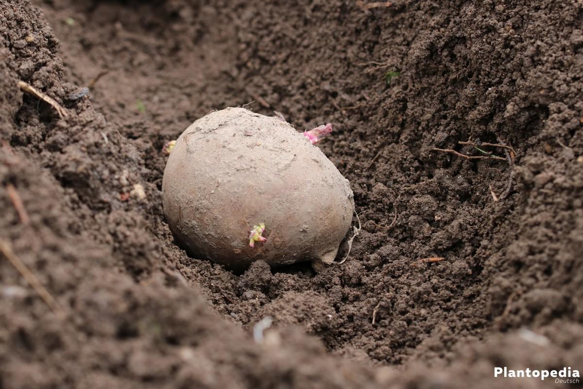 Kartoffel im Beet
