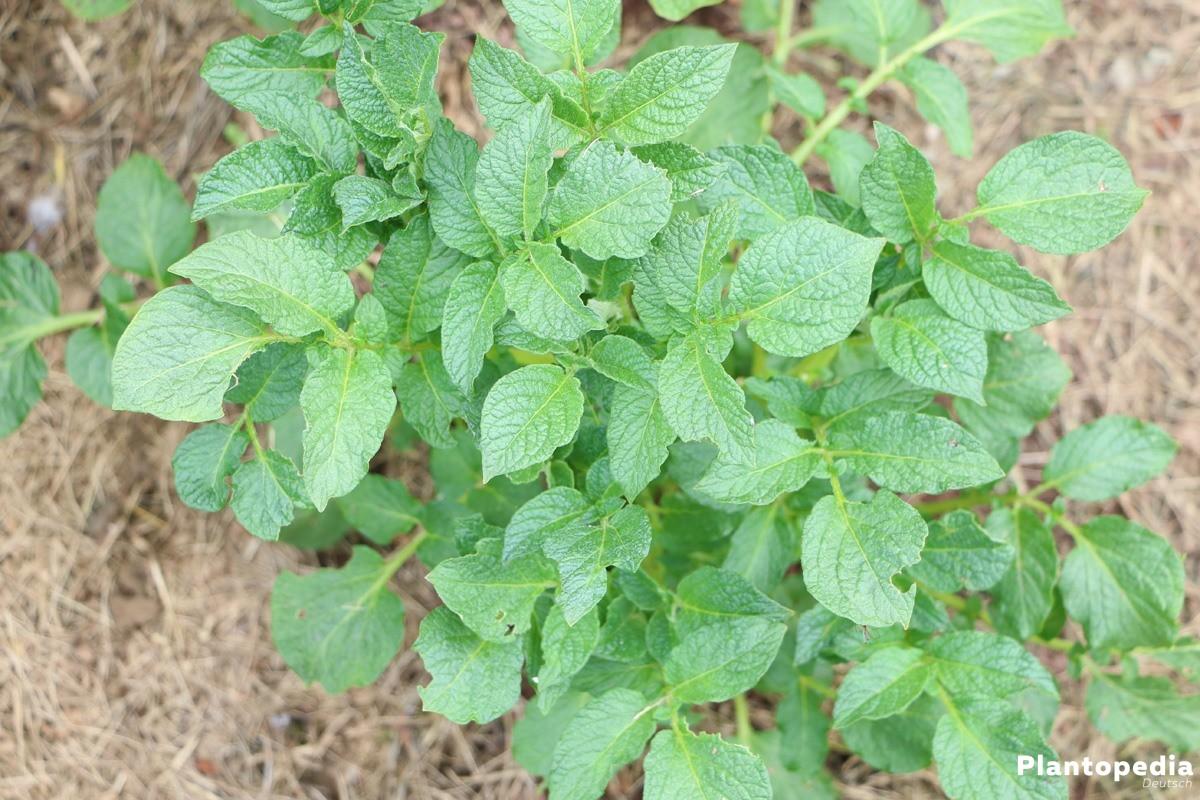 eine Kartoffelpflanze im Beet