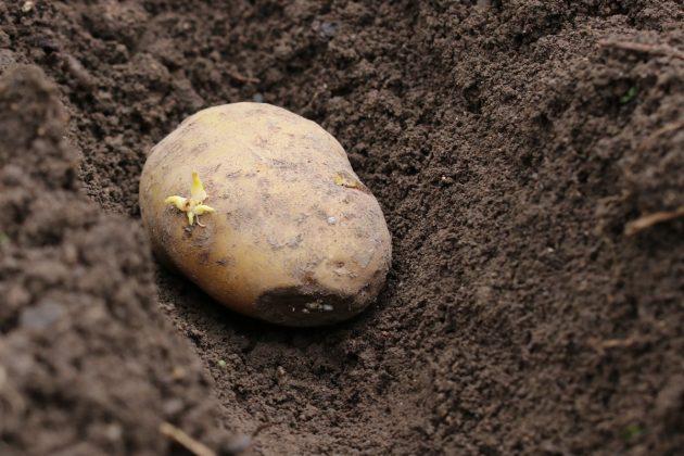 Solanum tuberosum, Kartoffel