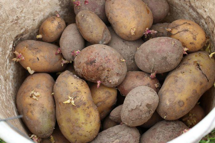 Kartoffeln aus eigenem Anbau ernten