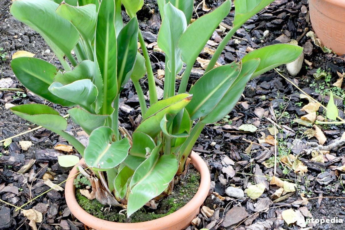 Königs-Strelitzie, Papageienblume stammt aus Südafrika