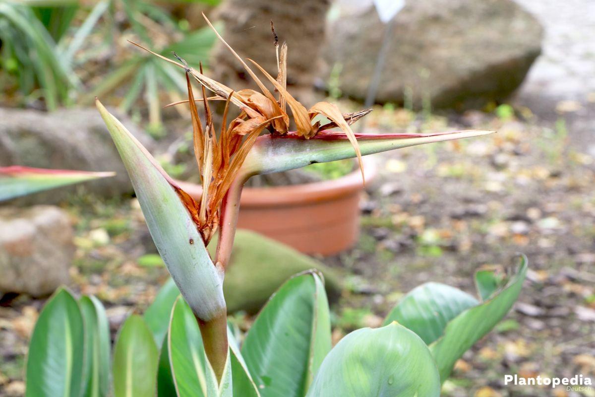 Strelitzia reginae mit Blüten, die vier Wochen lang halten
