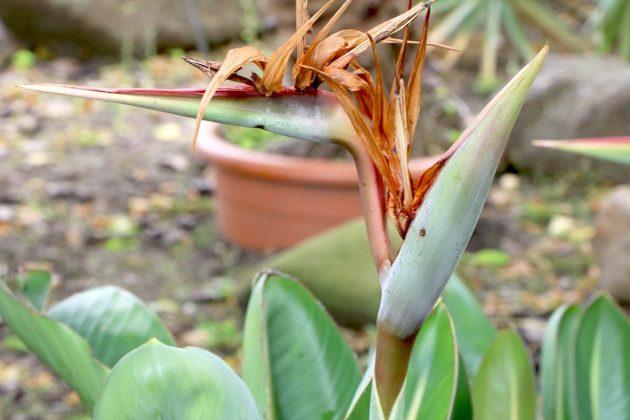 Königs-Strelitzie, Papageienblume ist auch für Gärten, Balkone und Terrassen geeignet