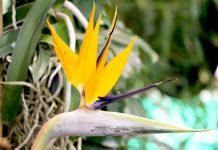 Strelitzia reginae, Paradiesvogelblume, Königs-Strelitzie, Papageienblume