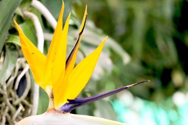 Strelitzia reginae, Paradiesvogelblume ist recht anspruchslos und kann leicht gehalten werden
